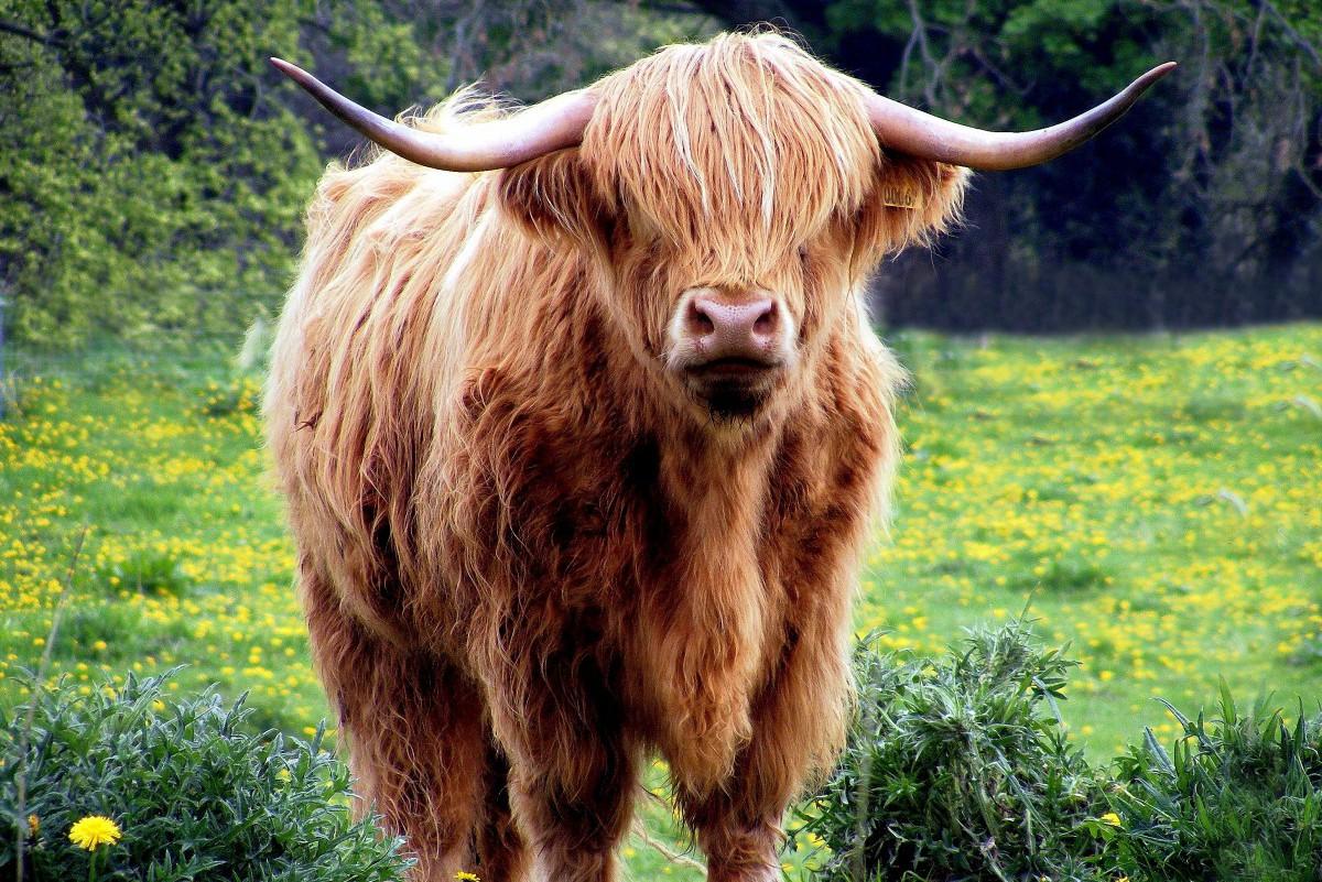 cow-431729