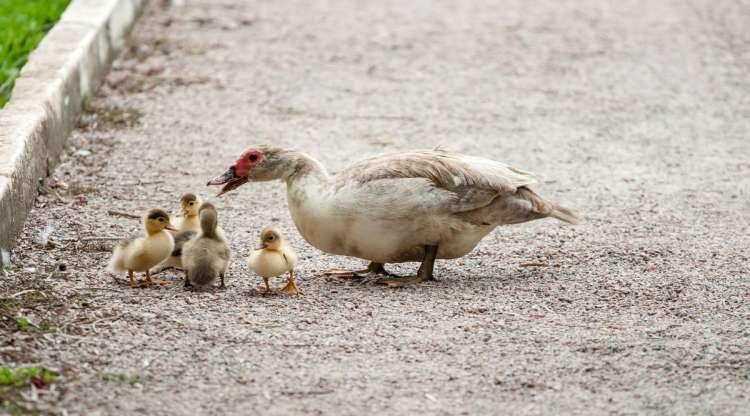 ducks-204334_1920-e1467207575213-750x416